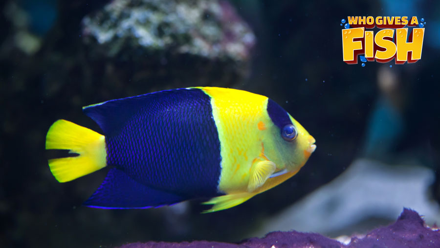 The Bicolor Angelfish can be difficult to look after