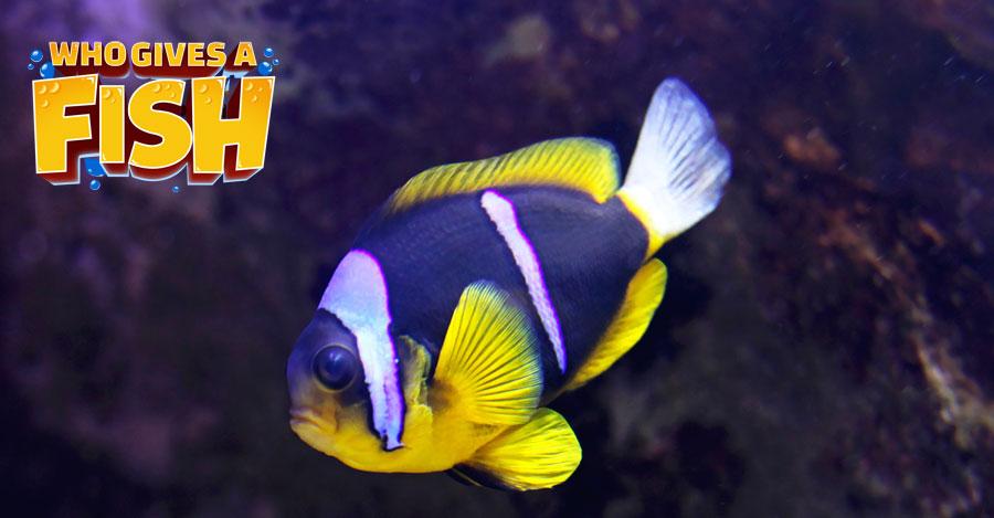 A small Clarkii in a home aquarium