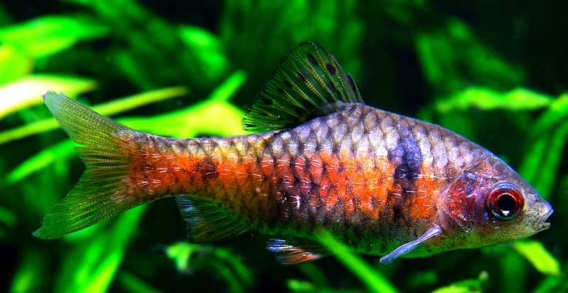 A mature male odessa Barb in an aquarium