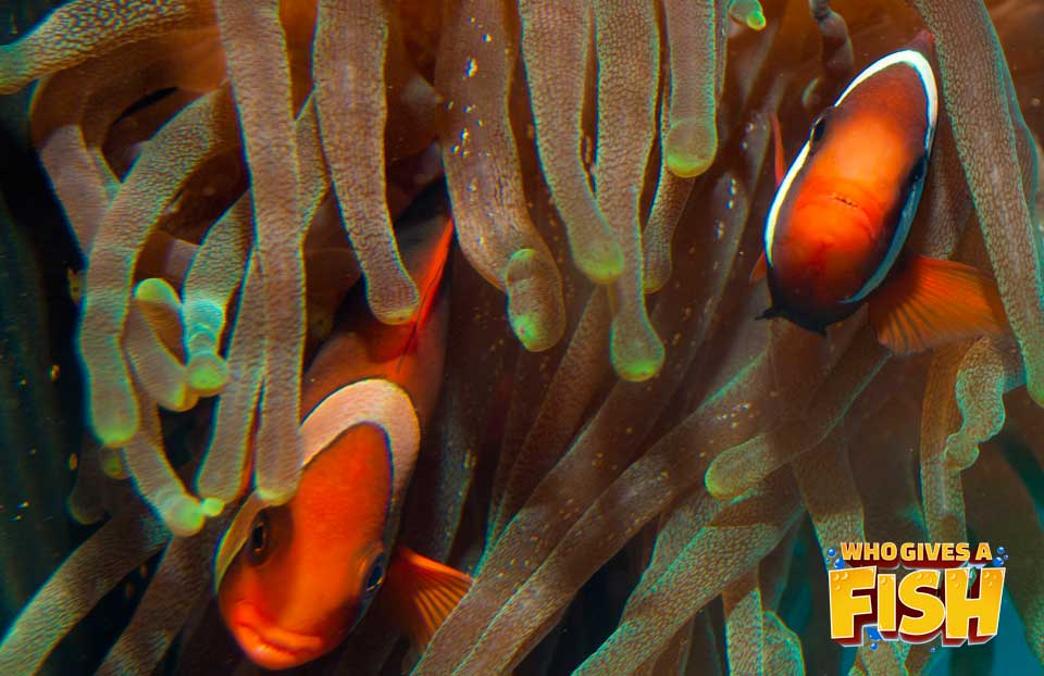 Two Tomato Clownfish in their host anemone