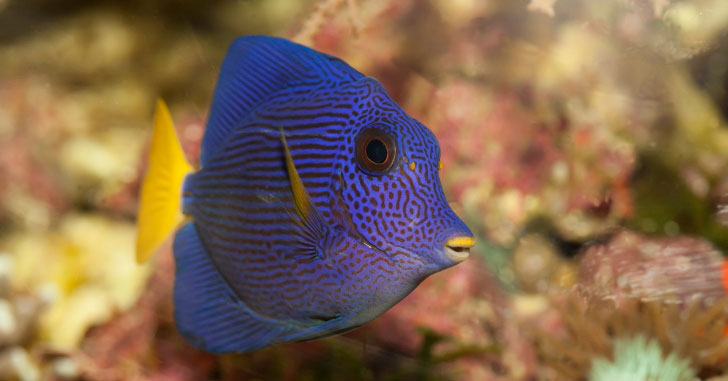 The Popular Purple Tang