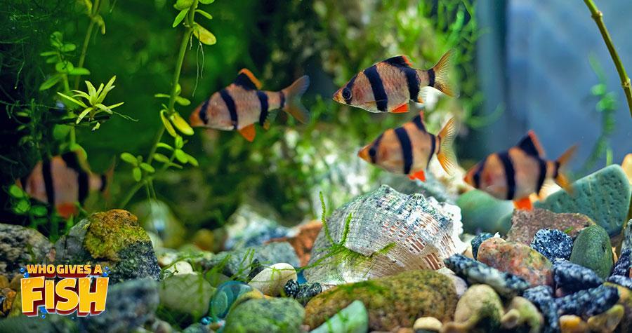 A school of Tiger Barbs in a home aqaurium