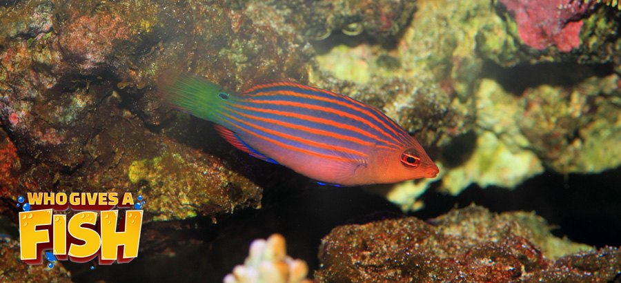 A healthy Six Line Wrasse