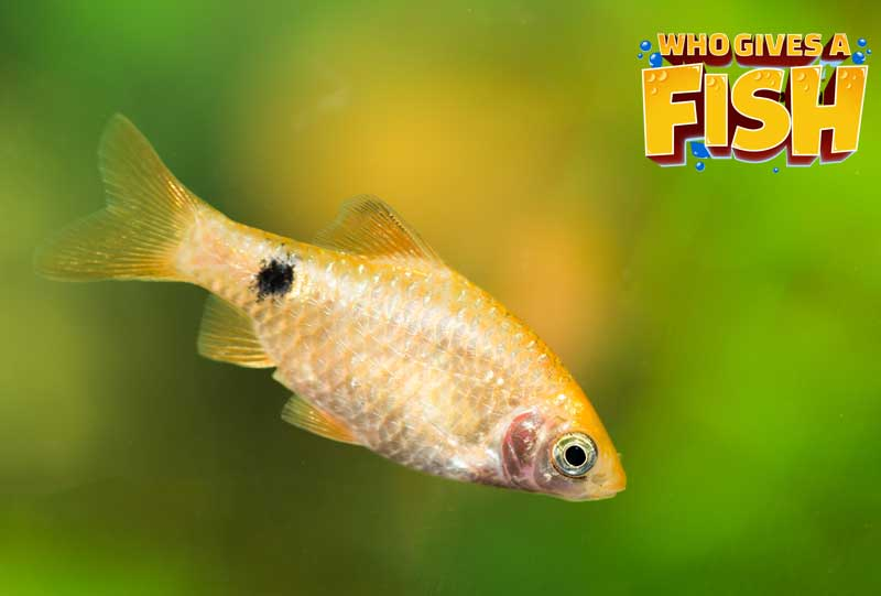 The Gold Barb Fish
