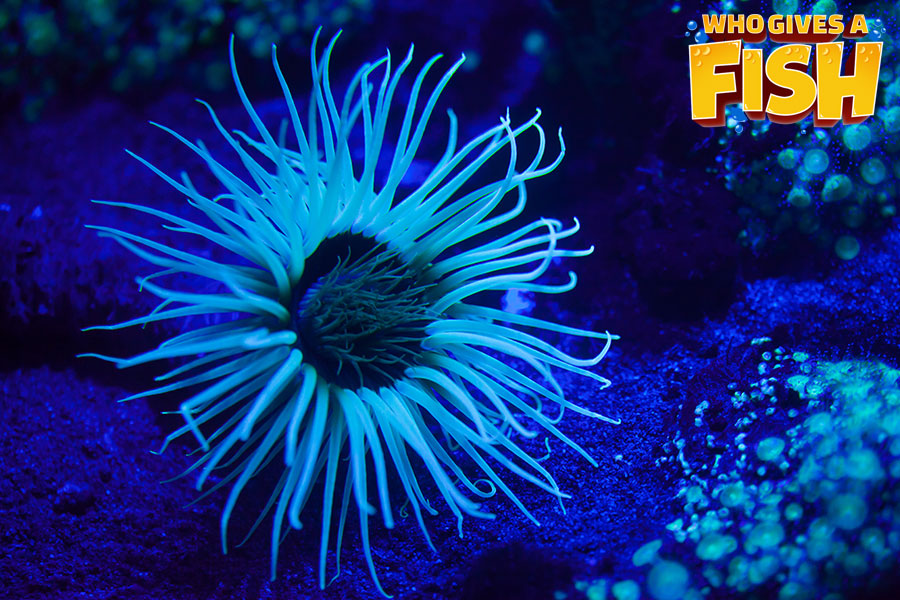 Well lit tube anemone