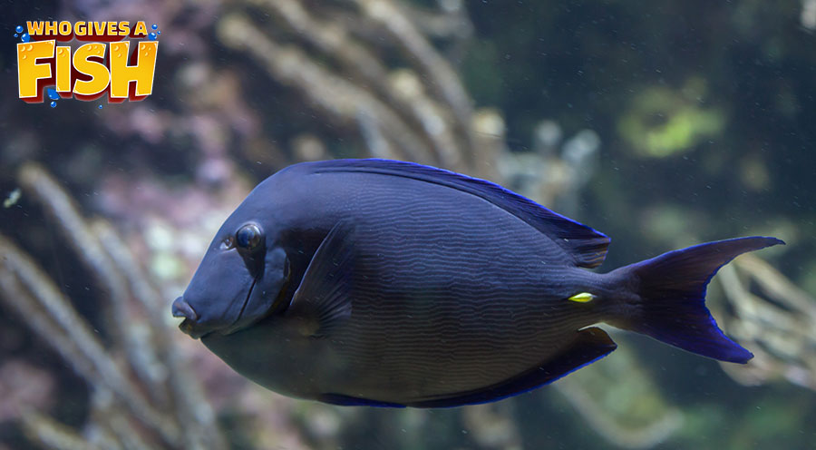 An Adult Blue Tang