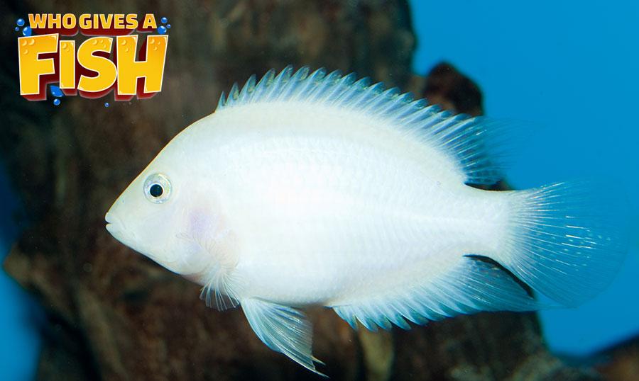 An Albino Convict Cichlid