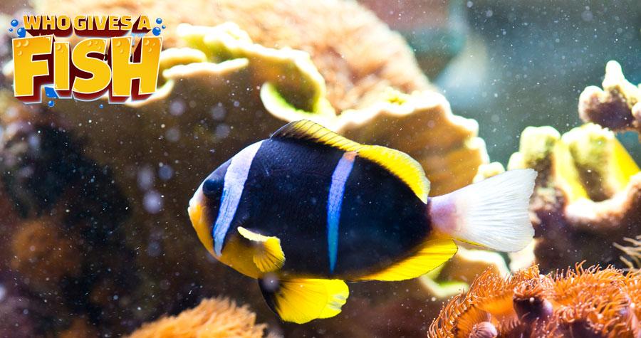 Amphiprion-Clarkii in a home aquarium
