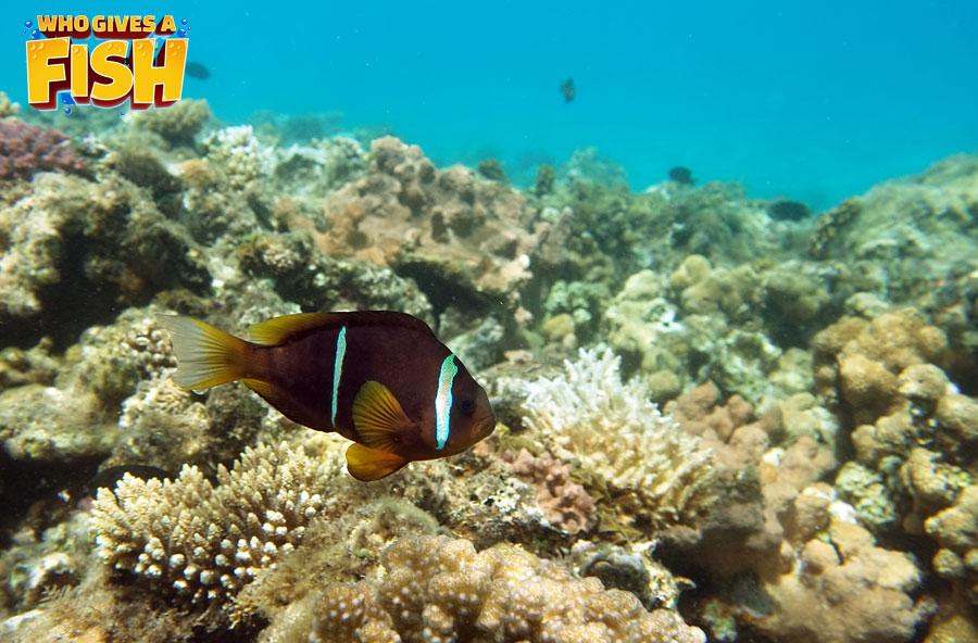 The wonderful Cinnamon Clownfish it the wild