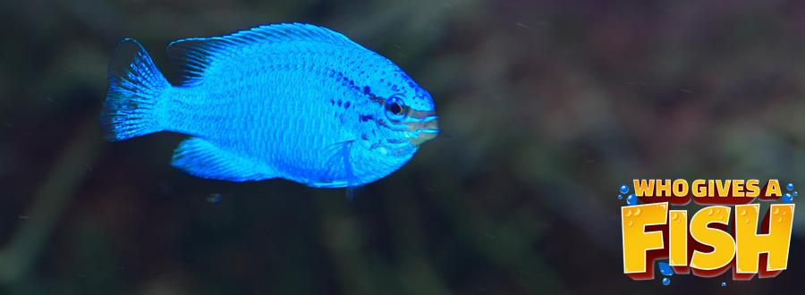A pretty female Blue Devil