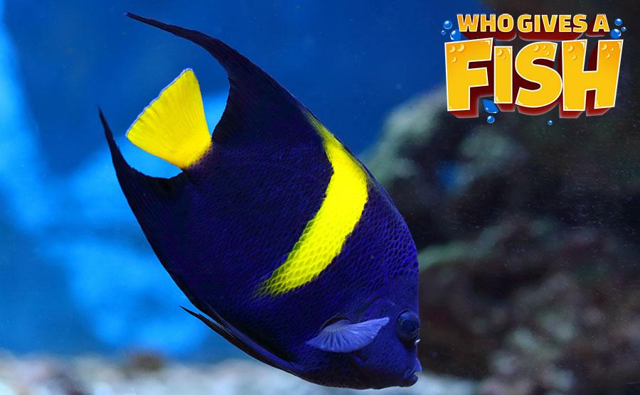An Arabian Angelfish in an aquarium