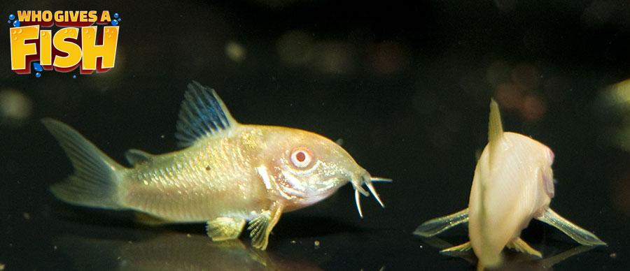 Albino corydoras in an aquarium