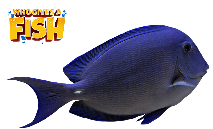 Closeup picture of a Blue Tang