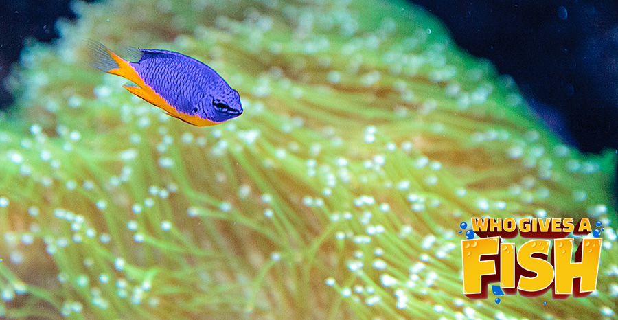 The solo Azure Damselfish
