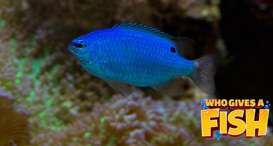 A baby Blue Damselfish in a home aquarium
