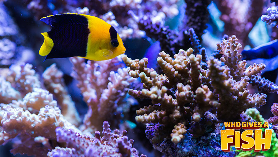 The Bicolor is a stunning display fish