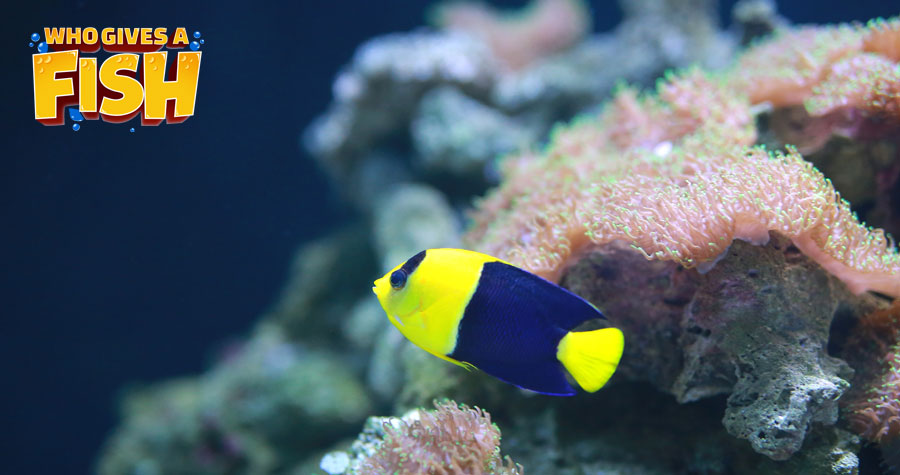 The Bicolor Angelfish is a stunning fish