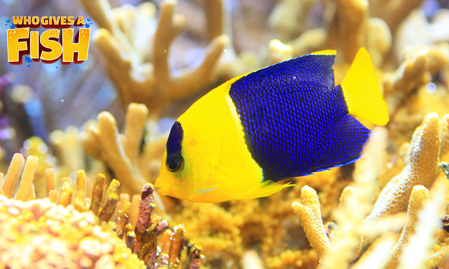 The yellow and blue Bicolor Angelfish