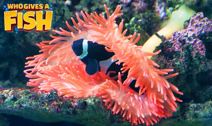 A deep black and white Percula Clownfish