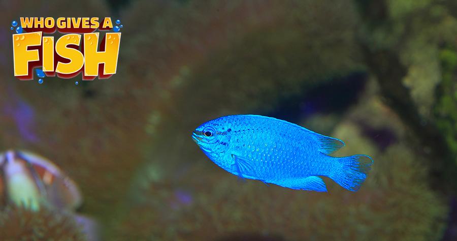 The Blue Devil can have transparent fins