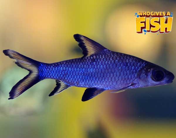 A blue and yellow Bala Shark