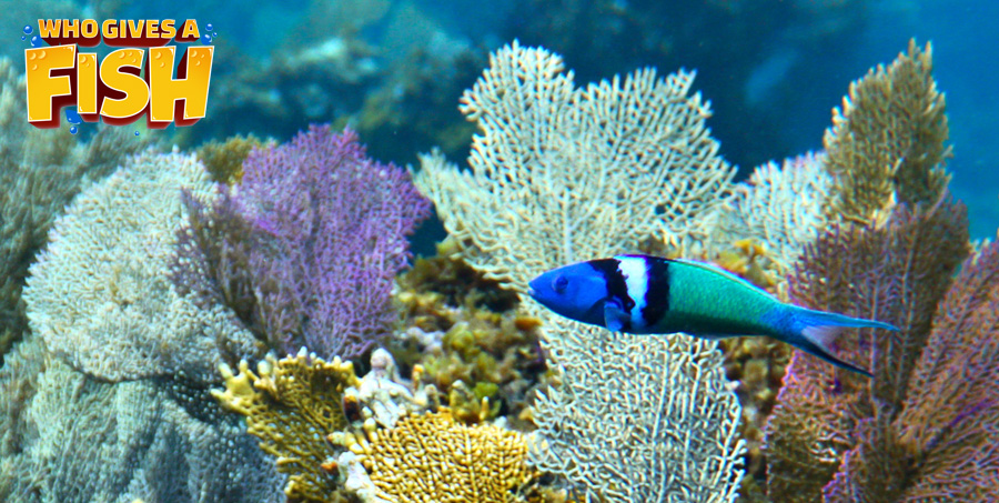 Bluehead Wrasse in a large display tank