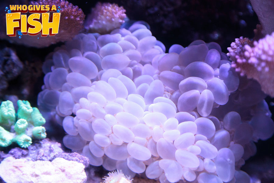 Bubble Coral in a reef tank