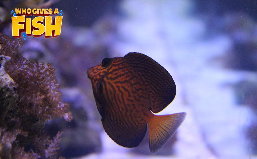 A Chevron Tang in a home aquarium