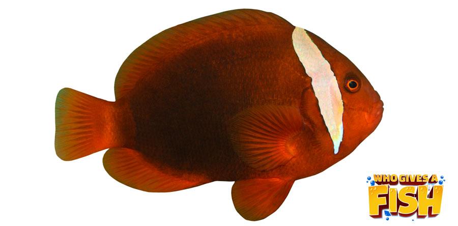 The Cinnamon Clownfish