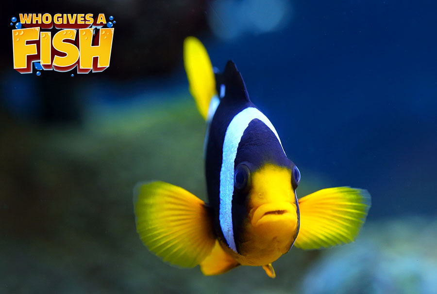 The dazzling Clarkii Clownfish