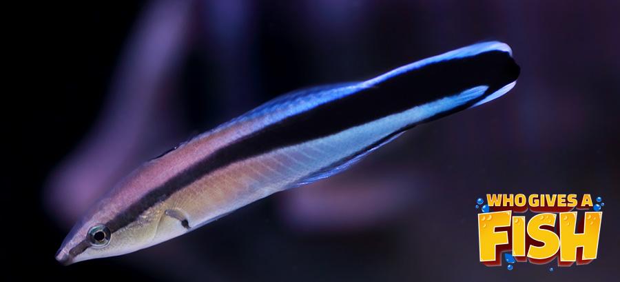 Cleaner Wrasse in a home aquarium