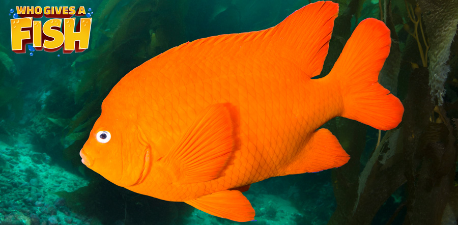 Closeup of a Garibaldi Fish