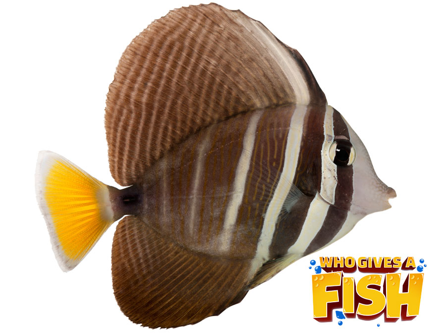 A closeup image of a Sailfin Tang out of the water