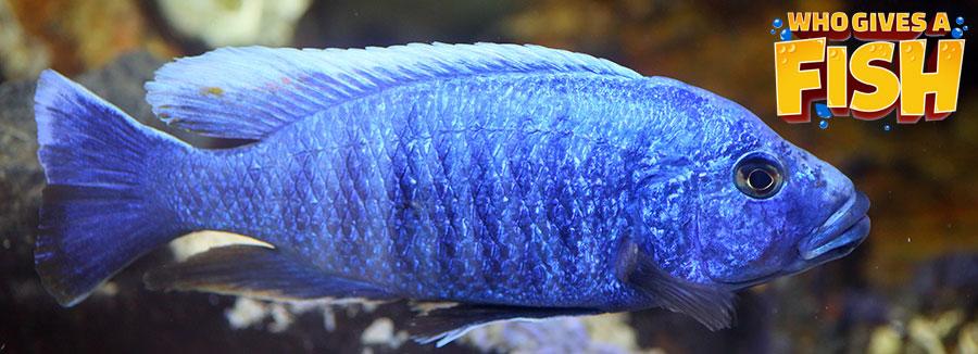 An Electric Blue Cichlid