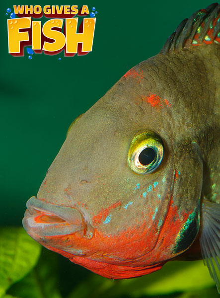 The well colored Firemouth Cichlid