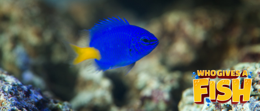 Great photo Of a Yellowtail Blue Damsel
