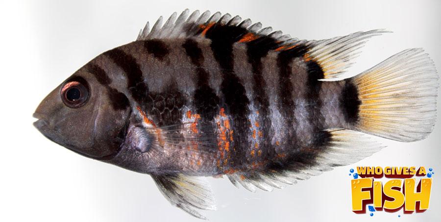 Closeup of a Convict Cichlid