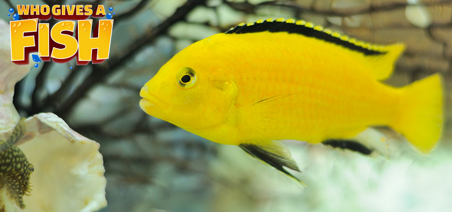 Electric Yellow Malawi Cichlid