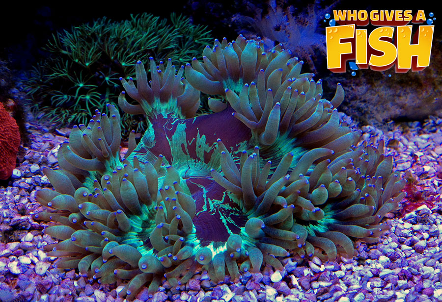 Magnificent Elegance Coral