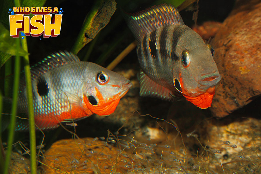 Firemouth Cichlid Pair