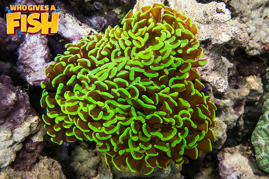 Stunning green tipped Hammer Coral