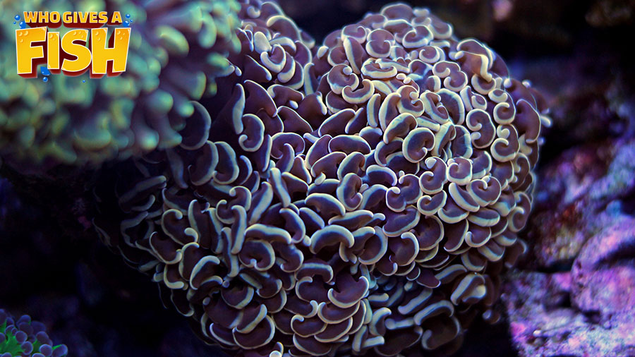 Hammer Coral improves any reef tanks look