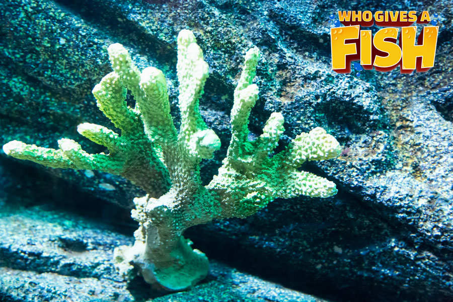 A small Horn Coral frag placed onto a rock in a reef tank