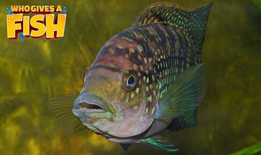 The well colored Jack Dempsey fish