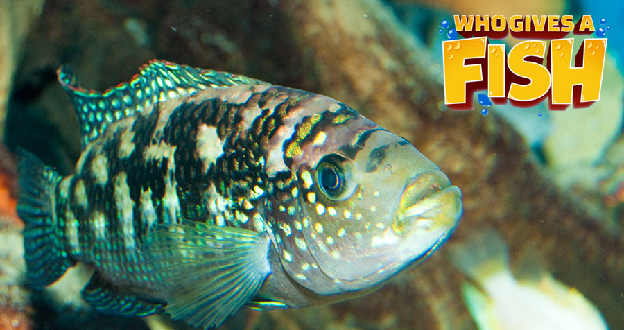 A healthy, mature Jack Dempsey Cichlid