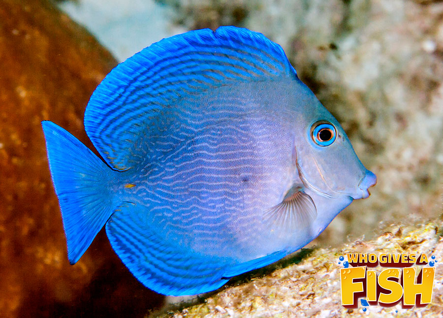 A baby Blue Tang in a home aquarium
