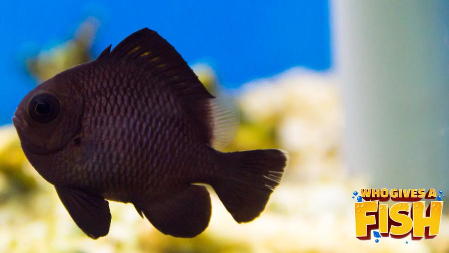 A young Domino Damsel in a home aquarium