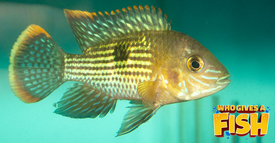 A young Green Terror Cichlid