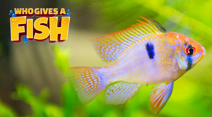 A young Ram Cichlid