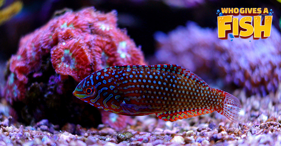 The spotted Leopard Wrasse